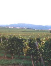 Alsace, Chasselas